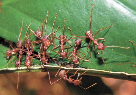Склеивание листьев шелком, выделяемым личинкой