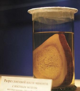 Разрез локтевой кости мамонта с костным мозгом