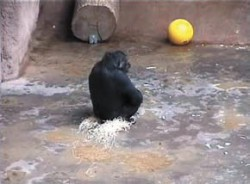 Пражский зоопарк. Горилла Иойя в «галошах» из стружки