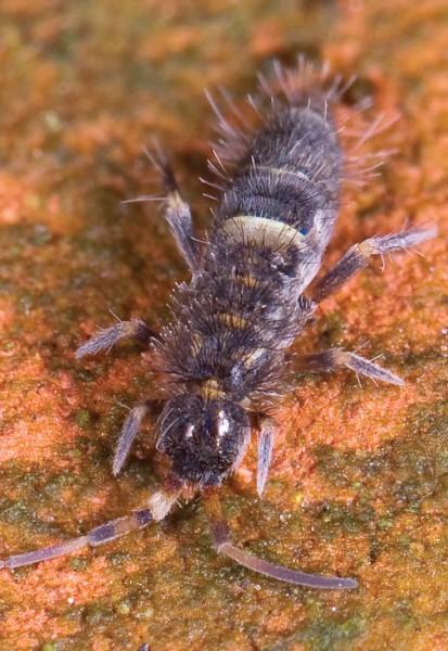 Коллембола Orchesella cincta (фото: «Википедия»)...
