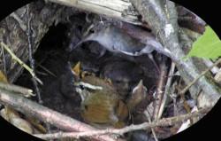 Пара короткохвосток (Urosphena squameiceps) y гнезда с птенцами