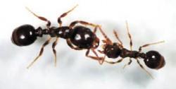 Рабочий муравей-рабовладелец выпрашивает еду у порабощенного муравья-хозяина