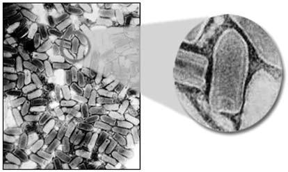 Рисунок 5. Вирус бешенства (www.cdc.gov/rabiesandkids/images/virus/virus_microscope.jpg)