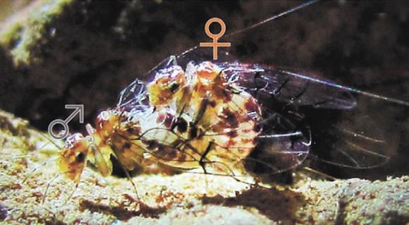 Рис. 1. Спаривание Neotrogla curvata. Самец внизу, но это не особенность Neotrogla: у родственных видов с обычным строением гениталий всё бывает так же