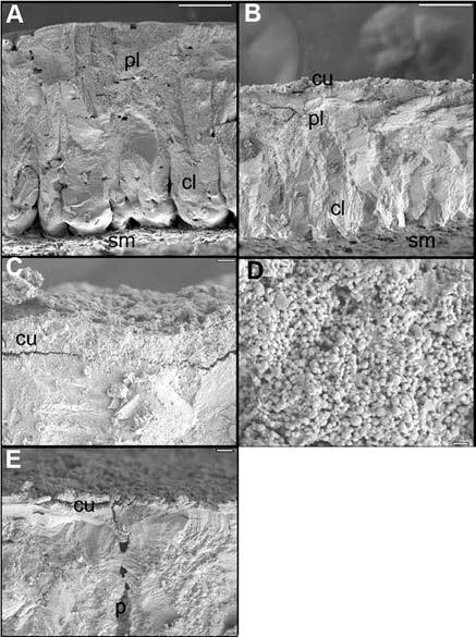 Электронные микрофотографии скорлупы куриного яйца (А) и яйца большенога (c-D). слой наносфер фосфата кальция обозначен буквами cu. Иа фото Е видно как наносферы закрывают пору в скорлупе (р). источник фото [1].
