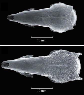 Черепа Scutisorex thori (наверху) и Scutisorex somereni (внизу). Фото из статьи