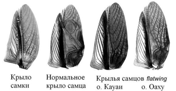 Крылья самцов flatwing с разных островов легко различить невооруженным глазом. у сверчков с острова Кауаи они напоминают крылья самок. (Фото из статьи Pascoal et al., по www.vesti.ru)