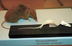 Геройская землеройка Scutisorex somereni— музейный экземпляр (http://uplqad.wikimedia.org)