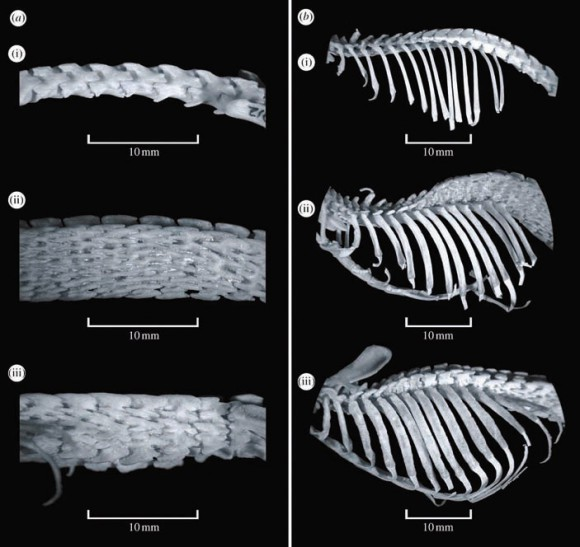 Поясничный отдел и грудная клетка гигантской африканской землеройки Crocidura olivieri, Scutisorex somereni и Scutisorex thori — вид сбоку. Фото из статьи