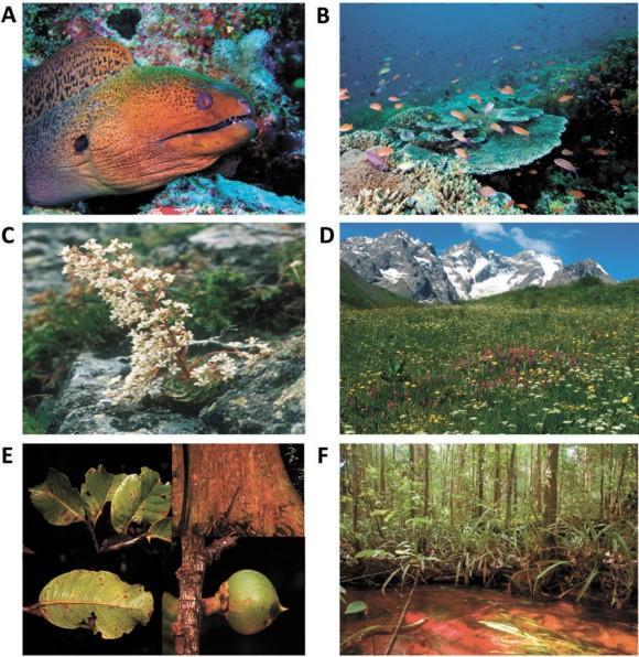 Незаменимые герои экосистем:  A-B — гигантская мурена Gymnothorax javanicus охотится по ночам в лабиринте коралловых рифов;  C-D — камнеломка Saxifraga cotyledon — низкорослое многолетнее вечнозеленое растение с длинным цветущим стеблем —  важный источник пыльцы для насекомых на кремнистых альпийских скалах;  E-F — Pouteria maxima, дерево с кожистыми листьями и стволом, покрытым толстой корой, противостоит пожарам и засухам в тропических лесах (рисунок из статьи