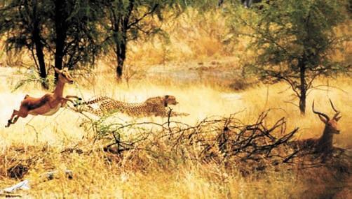 О необходимости маневра. Гепард охотится за импалой В северной Ботсване. Хорошо видно, что животные мчатся в разные стороны. Фотография кристины Голабек, соавтора Алана Уилсона
