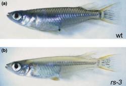 Японская медака oryzias latipes дикого типа и мутантный экземпляр, лишенный чешуи. поскольку пигмент содержат именно чешуи, лысая рыбка кажется прозрачной (Kоndо et al., 2001)