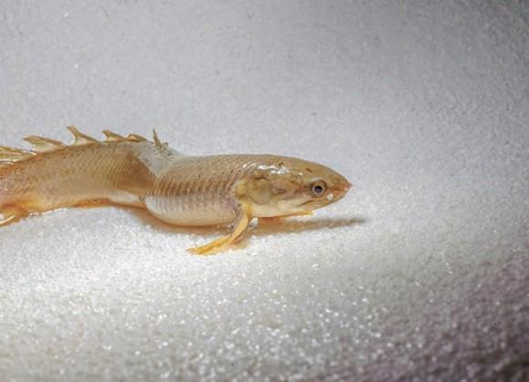 Рис. 2. Polypterus senegalus идет по песку, грудные плавники приподнимают и поддерживают переднюю часть тела (www.standenlab.com)