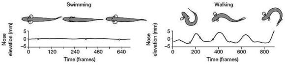 Рис. 3. Изменение положения тела Polypterus senegalus при плаванье и ходьбе. Графики показывают движения носа (Standen et al., 2014)