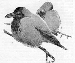 Серые вороны. Рисунок Алексея Комарова к очерку С. С. Турова (1940)