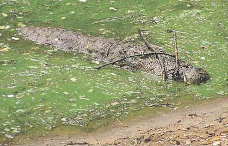 Болотный крокодил Crocodylus palustris в Мадрасском зоопарке приманивает птиц. Авось кто-нибудь прельстится веточкой для гнезда (Dinets et al., 2013)