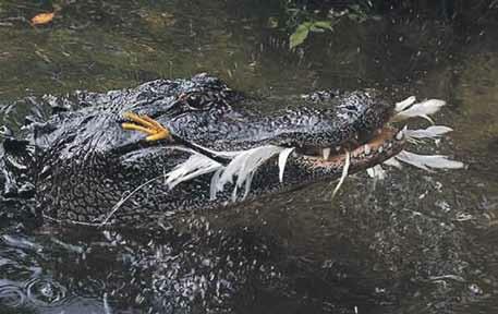 Приманка сработала! Миссисипский  аллигатор поймал цаплю (Dinets et al., 2013)