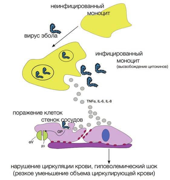 Рис. 1. Зараженные иммунные клетки неконтролируемо производят провоспалительные сигнальные молекулы (цитокины). Цитокины вместе с вирусом Эболы действуют на клетки стенок сосудов (клетки эндотелия), вызывая нарушение целостности сосудов и кровотечение