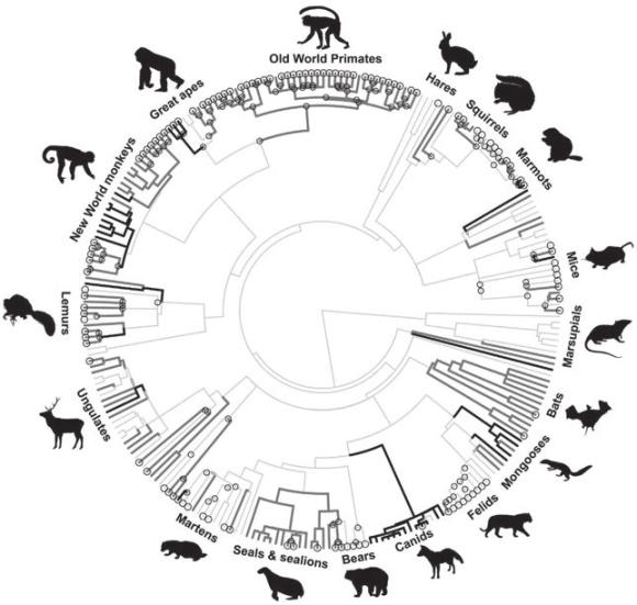 Рис. 1. Самцовый инфантицид свойственен примерно половине видов млекопитающих и возникал независимо много раз. Он чаще встречается у социальных видов (темно-серые линии), меньше у одиночек (светло-серые линии) и отсутствует у моногамных видов (черные линии) (Lukas and Huchard, 2014)