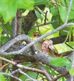 Поет сибирская пестрогрудка (Tribura taczanowskii)