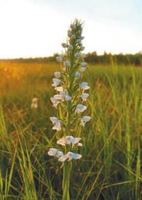 Поводник (Habenaria lineafolia)