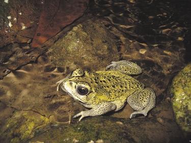 Чернорубцовая жаба (Duttaphrynus melanostictus). Фото Д.В. Скоринова