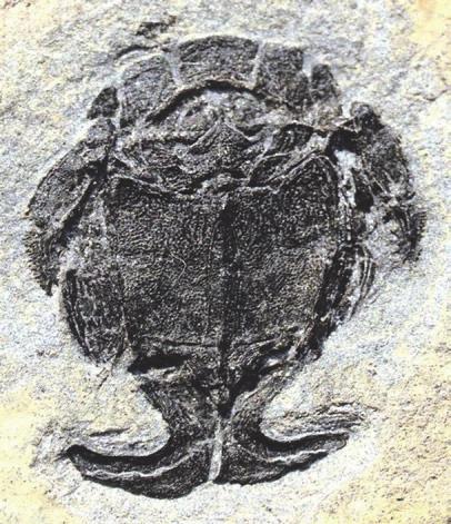 1. Самец Microbrachius dicki с брюшной стороны.  На класперах хорошо видны желобки (Long et al., 2014)