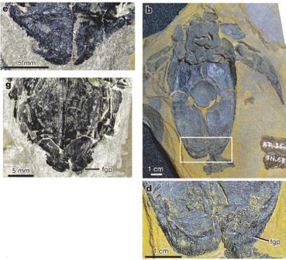 2. Генитальные пластинки (FGP) у самок плакодерм M. dicki (вверху слева) и Bothriolepis canadensis (вверху справа)  (Long et al., 2014)