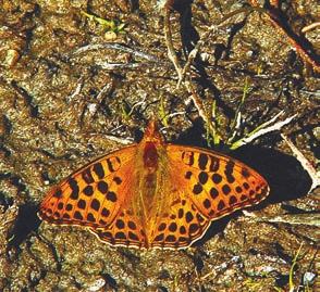 Перламутровка латона (Issoria lathonia). Долина Баспа, окрестности села Читкул (3400 м). Фото А.В. Андреева, 2 октября 2011 года