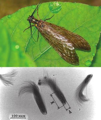 Рис. 1. Parachauliodes japonicus (http://issun.exblog.jp) и пучки его сперматозоидов [Hayashi, 1998]