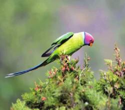 Сливоголовый попугай. 2 июня 2015 года