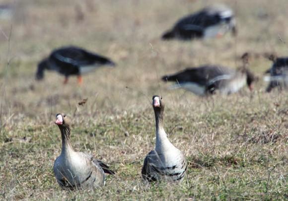 Белолобые гуси очень осторожны и пугливы:  проходящий по дороге человек привлекает внимание дозорных, а малейшее движение людей или собак в сторону стаи может поднять в воздух разом несколько тысяч птиц