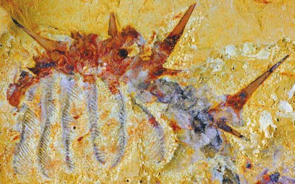 Рис. 3. Отпечаток Collinsium ciliosum, вид сбоку. Видны антенны на голове, передние «перистые» ноги и склеротизированные шипы (www.cam.ac.uk)