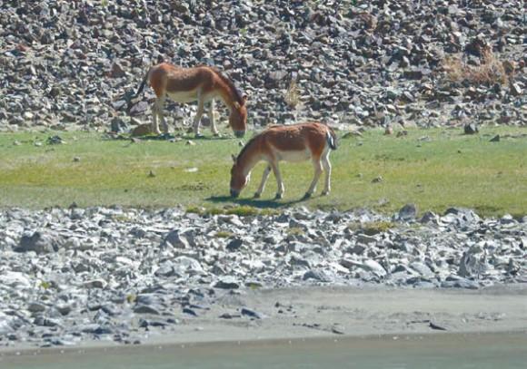 Кианги близ устья реки Палдонг-чу.  18 июня 2015 года