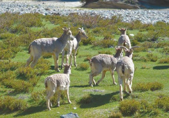 Стадо горных козлов-ибексов на берегу реки Палдонг-чу. 18 июня 2015 года