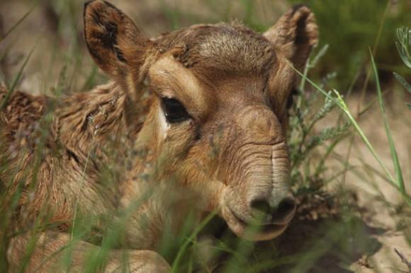 Сайгаки (https://fzs.org/de/aktuelles/mass-die-saiga-antelopes-kazakhstan/)