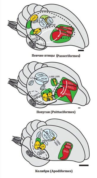 Вокальные ядра в головном мозге птиц. Передние (красные) и задние (желтые) ядра соседствуют с двигательными областями (зеленый). Голубым выделены слуховые области. Длина полоски — 1 мм (Chakraborty et al., 2015)