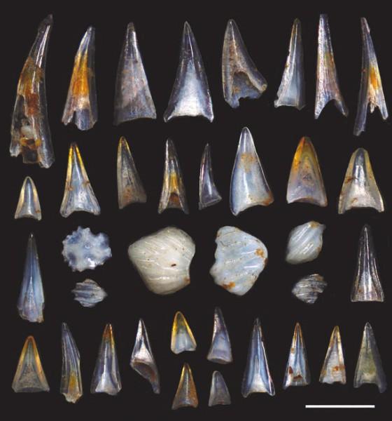 Рис. 2. Окаменевшие зубы рыб и чешуи акул из южной части Тихого океана. Начало палеогена, массовое вымирание конца мелового периода закончилось. Длина полоски — 500 мкм. https://scripps.ucsd.edu