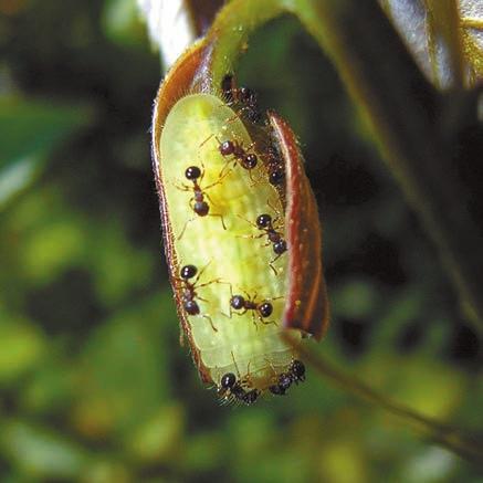 Рис. 2. Муравьи Pristomyrmex punctatus не отходят от гусеницы голубянки (Hojo et al., 2015)