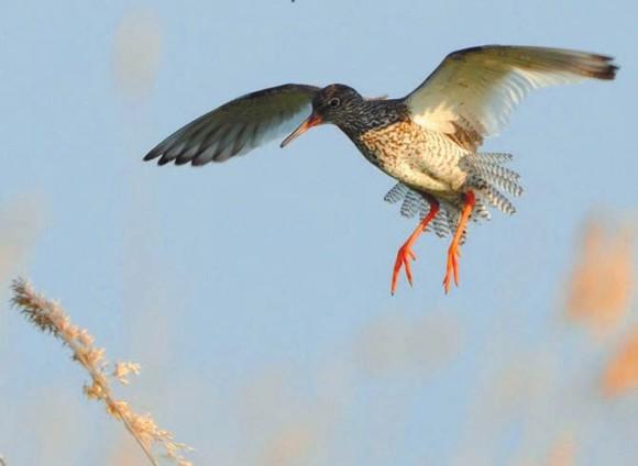 Травник возле гнезда. Фото Сергея Коузова