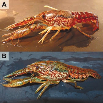 1. Самец Procambarus fallax (А) и мраморный рак (В)