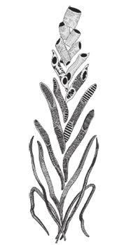 Основной тренд в эволюции водопроводящих клеток древесины (снизу вверх) по концепции И. Бейли (по Bailey, 1954)