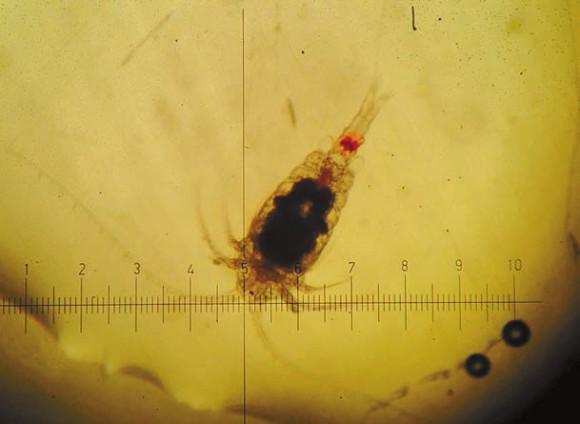 Микроскопический рачок под прицелом