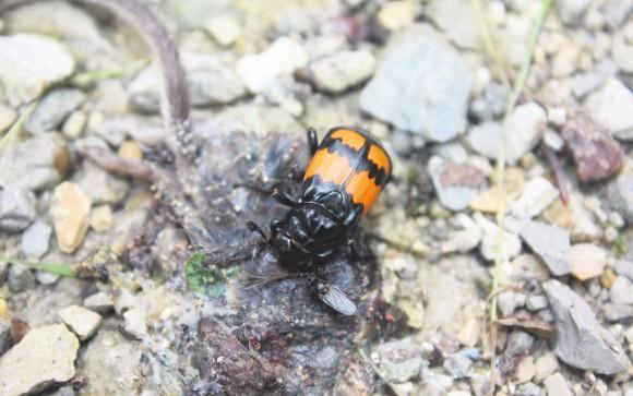 Черноусый могильщик Nicrophorus vespilloides. Фото из «Википедии»