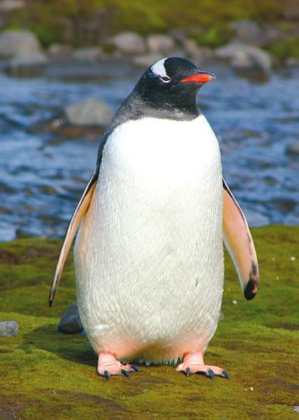 Папуанский пингвин. Фото А. Лупачева