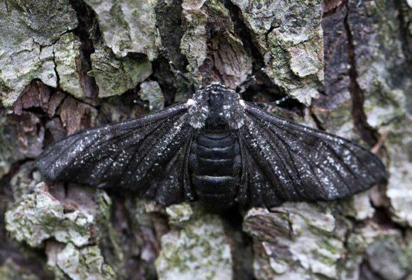 Брезовая пяденица, темная разновидность. Фото: «Википедия» (Jerzy Strzelecki)