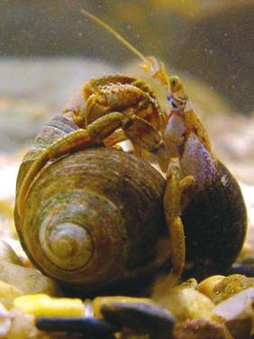 Битва Pagurus bernhardus за раковину, нападающий справа.  С сайта www.nature.com