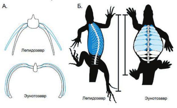 Рис. 2. Ни глубоко вздохнуть, ни широко шагнуть. А. Затрудненное дыхание. Положение ребер при вдохе показано голубым, при выдохе — черным. Б. Неподвижные ребра не позволяют черепахе изгибать тело при ходьбе. Синим цветом обозначены легкие. Из [3] с модификацией