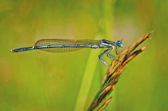 Плосконожка (Platycnemis pennipes)