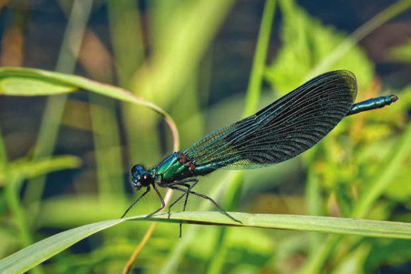 Красотка блестящая (Calopteryx splendens)